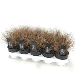 Afbeelding van Carex comans bronco