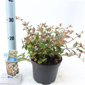 Afbeelding van Abelia grandiflora