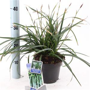 Picture of Carex morrowii Irish Green