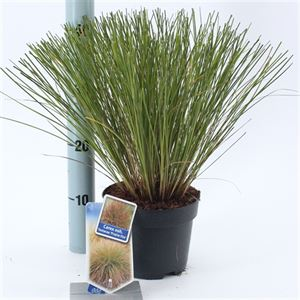 Picture of Carex osh. Testacea