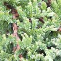 Picture of Juniperus horizontalis Prince of Wales