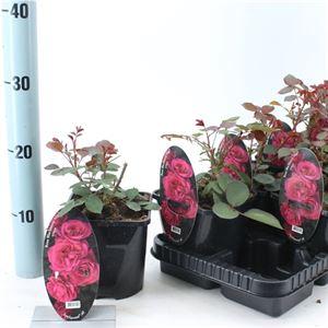 Picture of Rosa patio Blackbarry Nipp (Spelarosa geurende rozen)