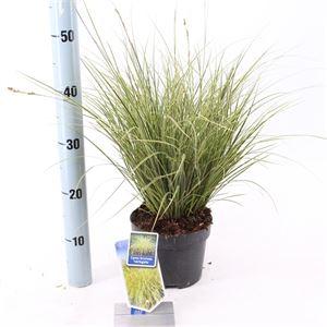 Afbeelding van Carex brunnea Aurreovariagata
