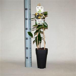 Picture of Citrus aurantifolia lime verde