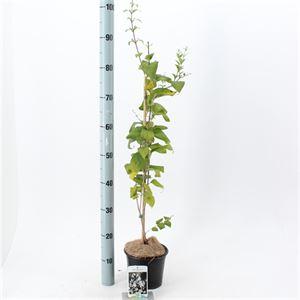 Picture of Abeliophyllum distichum