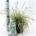 Picture of Carex oshimensis Evercream