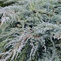 Afbeelding van Juniperus squamata Blue Carpet