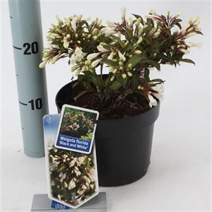 Picture of Weigela florida Black & White