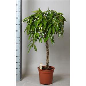 Picture of Ficus amstel king gevlochten stam