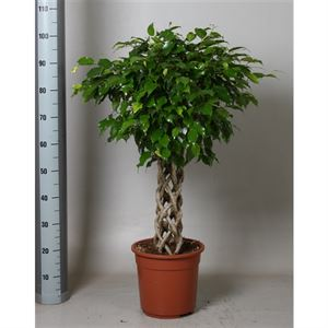 Picture of Ficus exotica koker