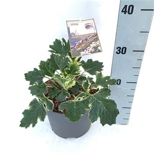 Picture of Acanthus White Water sense