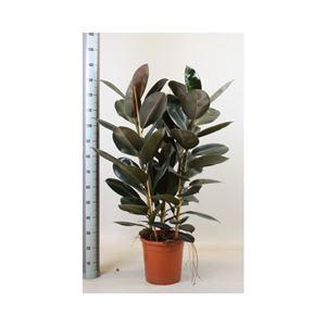 Picture of Ficus abidjan toef