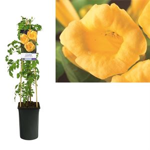 Picture of Campsis radicans flava