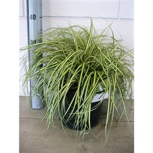 Picture of Carex osh. Evergold