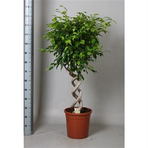 Picture of Ficus exotica dubbele kurketrekker