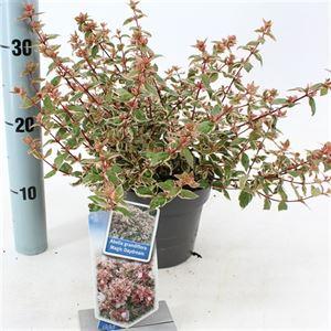 Picture of Abelia grandiflora Magic Daydream