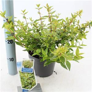 Picture of Abelia grandiflora Happy Daydream