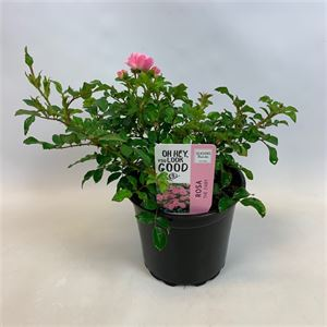 Picture of Rosa the Fairy - roze in 15cm pot