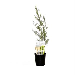 Picture of Asparagus officinalis Gijnlim