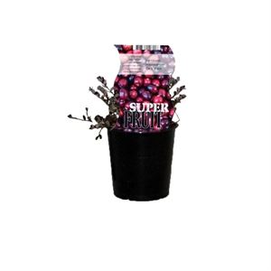 Afbeelding van Vaccinium macrocapon Early Black