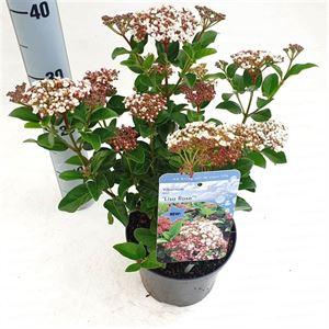 Afbeelding van Viburnum tinus Lisa Rose ®